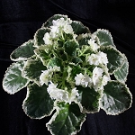 African Violet Cool Mint 2 Leaves