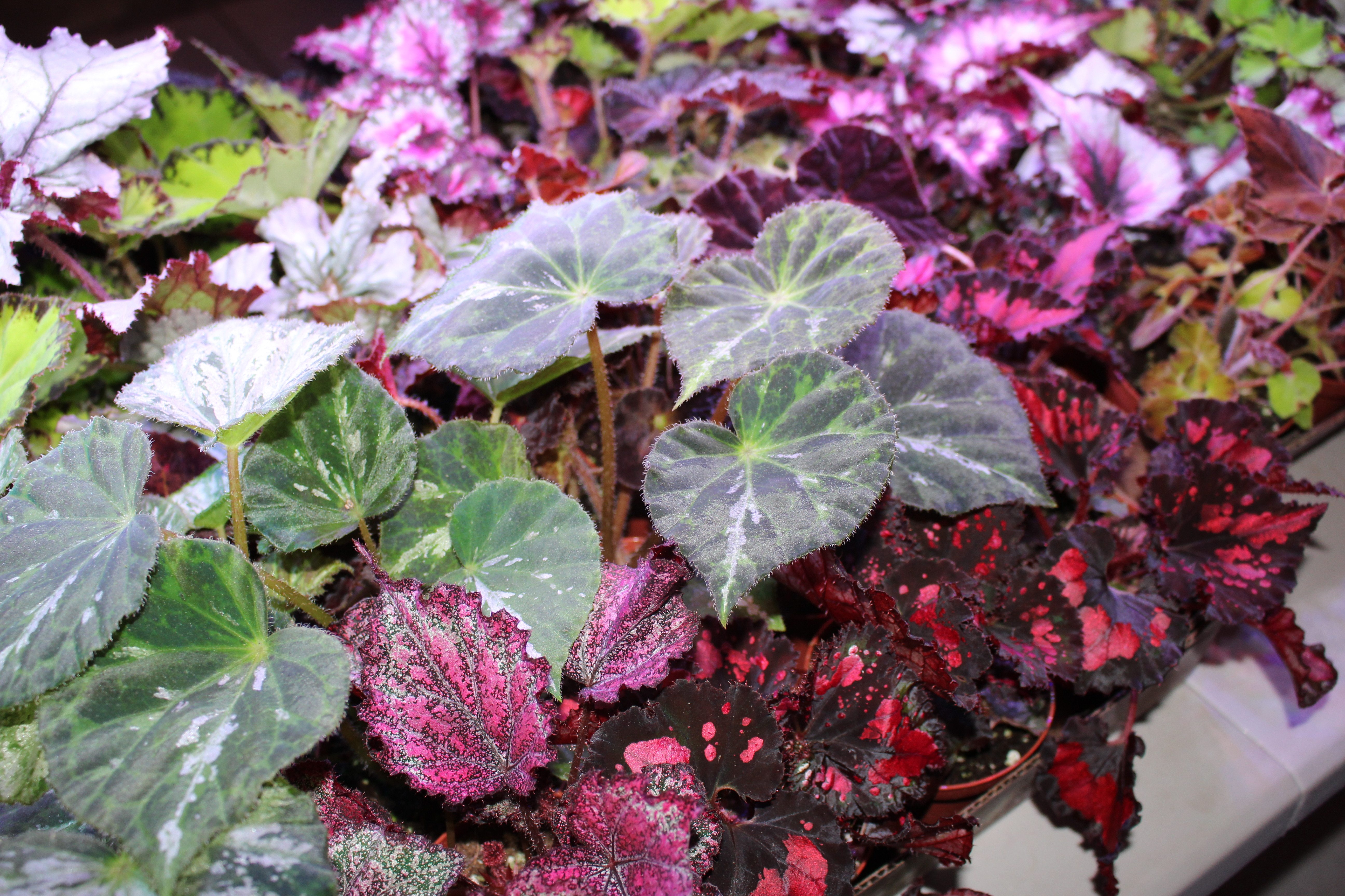 Heat Tolerant Rex Begonia Collection Of 3 Different Plants In 4 Pots