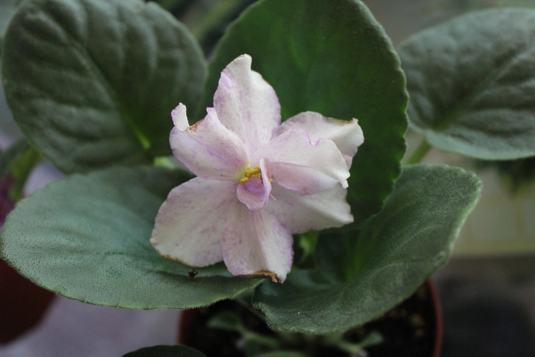 African Violet King S Ransom Blooming Size 4 Quot Plant