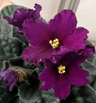 African Violet K's Want Some Wine blooming size plant