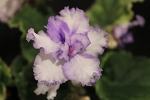 African Violet News Flash pair of leaves