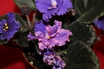 African Violet Harmony's Mustang Sally set of 2 leaves