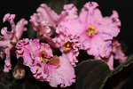 African Violet Sparkling Money set of 2 leaves