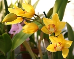 Cymbidium Milton Carpenter