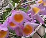 Dendrobium loddigesii  smaller plant in net pot than the larger size