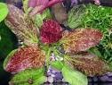 Amazon Sword Plant Red Flame