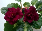 African Violet Harmony's Frilly Girl  Leaf Pot