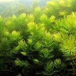 Tropical Hornwort Aquarium  Pondsai Moss