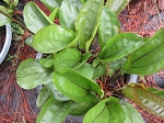 Amazon Sword Plant 4 different echinodorus
