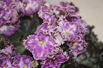 African Violet RS Zolushkin Son Leaf cup