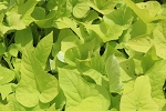 Golden Sweet Potato Cuttings 1 cent with order