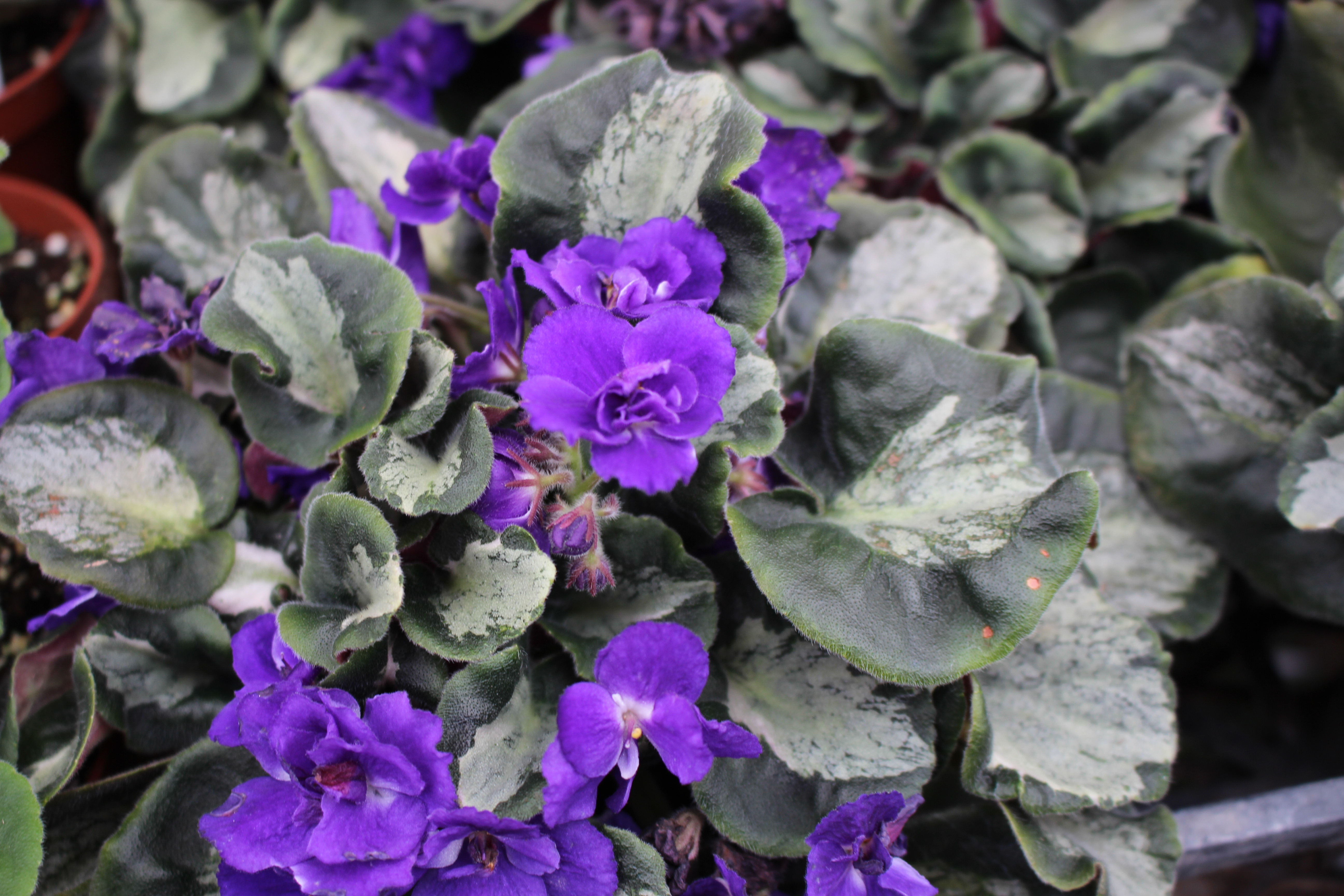 African Violet Russian LE Southern Night  Luzhnaia Noch 2 lvs