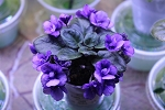 African Violet Rob's Fuddy Duddy  semi miniature 2 leaves