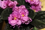 African Violet Floozi pair of leaves