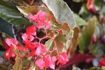 Begonia Angel Wing Torch  4