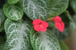 Episcia Red Flowered 6