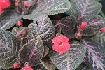 Episcia Unknown Red 6 inch hanging basket