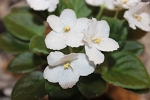 African Violet Jolly Maiden semiminiature set of 3 leaves + free