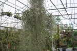 Spanish Moss 1 cent with Plant order