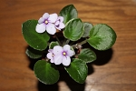 African Violet Classic Rock Plant