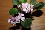 African Violet Rob's Heat Wave blooming size 2