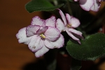 African Violet Rob's Heat Wave  set of 2 leaves semiminiature