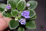 African Violet Definitely Daryl 2 leaves Vintage