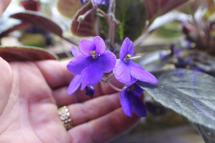 African Violet Number 32 Vintage Original 10 Set Of 2 Leaves