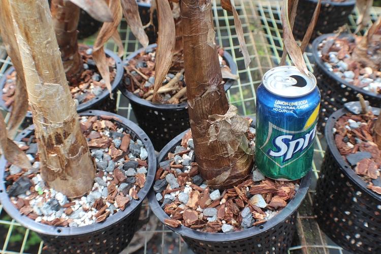 how to grow worsleya procera