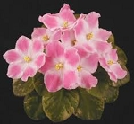 African Violet Miss Lily pair of leaves