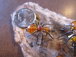 Spider Amber Pin