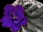 African Violet Lyon's Private Dancer 2 Leaves