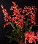 WILSONARA PACIFIC PANACHE 'FIRESIDE FEVER' Orchid Plant