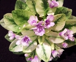 African Violet Rob's Cool Fruit  leaf pot