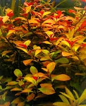 Aquatic Ammannia latifolia 5 - 6 stems