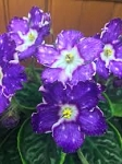 African Violet Russian Birth of Galaxy pair of leaves
