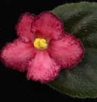 African Violet Cracker Jack Red 2 leaves