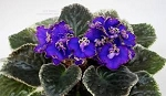 African Violet High Expectations 2 leaves