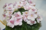 African Violet Hunter's Chipmunk Cheeks semiminiature 2 leaves