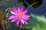 Water Lily Purple Fantasy