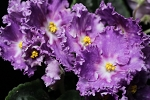 African Violet Russian LE Melody of Rain 2 leaves