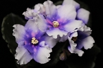 African Violet Russian Hello America #2 2 leaves