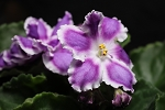 African Violet Russian Sonata-Chainmail 2 leaves