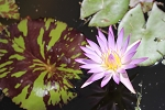 Waterlily Tropical Madam Ganna Walska