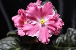African Violet Russian Scent of Summer RM Aromat Leta Leaf Pot