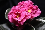 African Violet Russian Taste of Raspberry leaf pot
