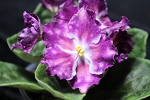 African Violet Russian Carnival Night 2 leaves
