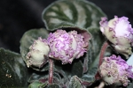 African Violet Russian PT Sharliz 2 leaves