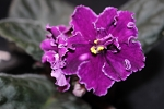 African Violet Russian Velvet Star Sport pair of leaves