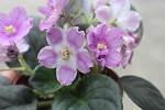 African Violet Radiant Glow pair of leaves